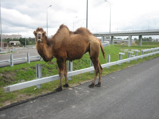wild camel in St. Petersburg 3