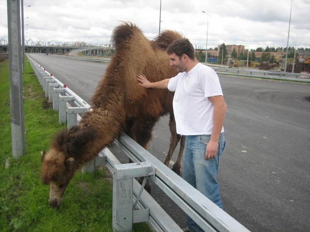 wild camel in St. Petersburg 4