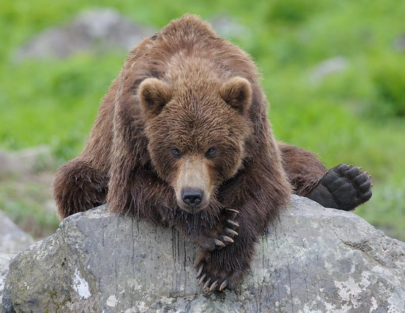 Top Bears of Kamchatka Region