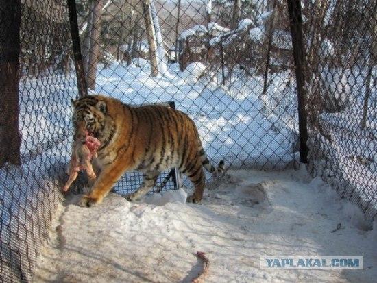 The Story Of an Amur Tiger Named Zhorik