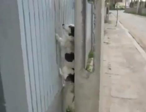 Wall Climbing Dog