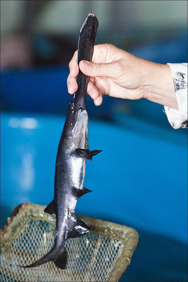Breeding Sturgeons In Astrakhan