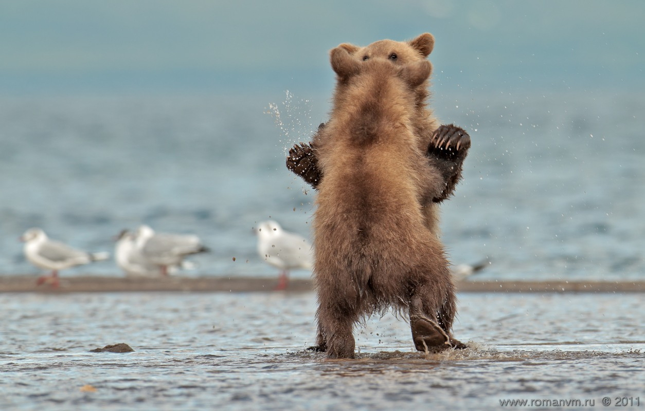 Kamchatka And Its Bears. Photos By Roman Murushkin