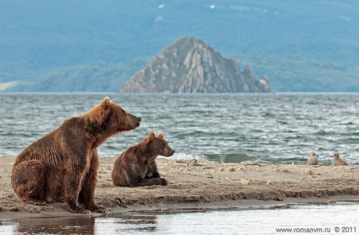 Kamchatka And Its Bears. Photos By Roman Murushkin