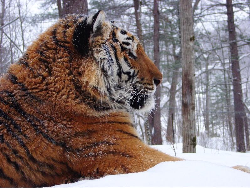 Wildlife of Amur Tigers