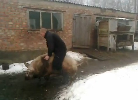 Video: Wild Boar Village Rodeo