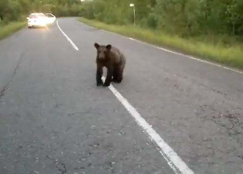 Bear Cub On the Road