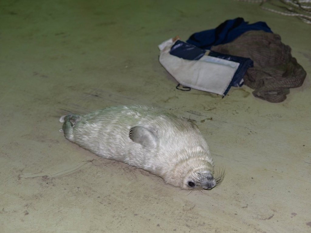 Seal Pup Came to People For Help