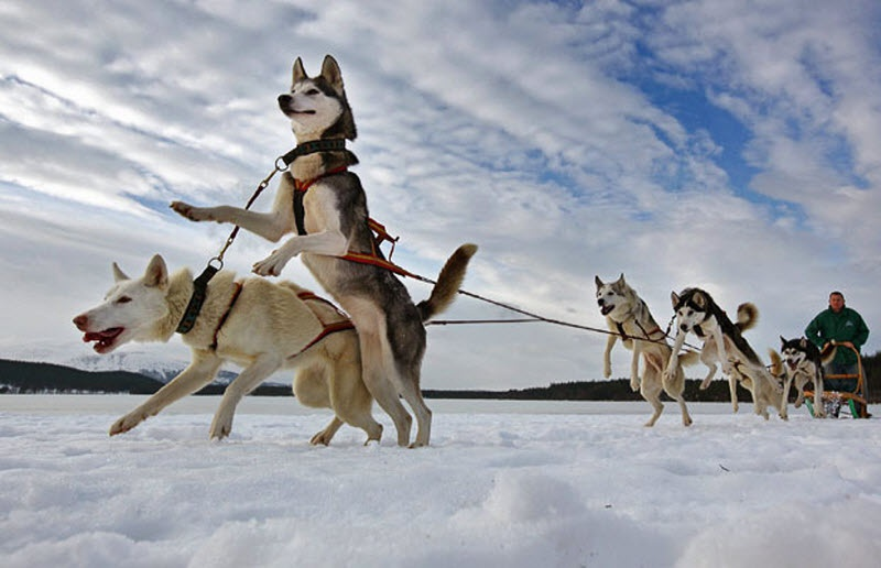 Russian Airborne Troops Ride Dog Sledges in Extreme North