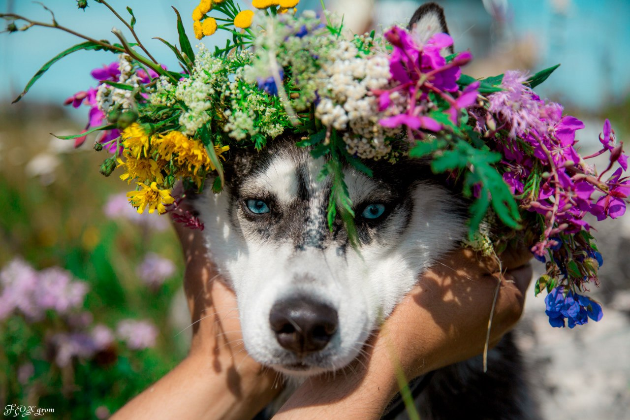 Husky dogs true friends and avid travellers english for Avid dog
