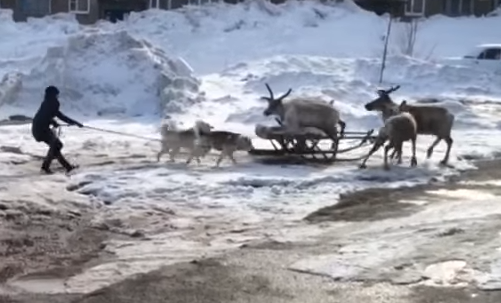 Two Huskies Assaulted Deer Sledge [video]