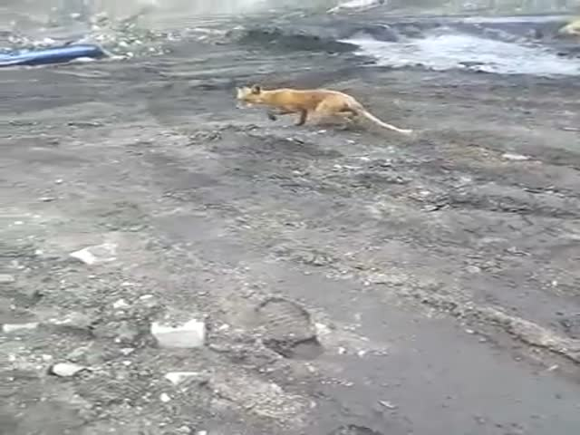 Man Wants to Feed Fox, Fox Behaves Unexpectedly [video]