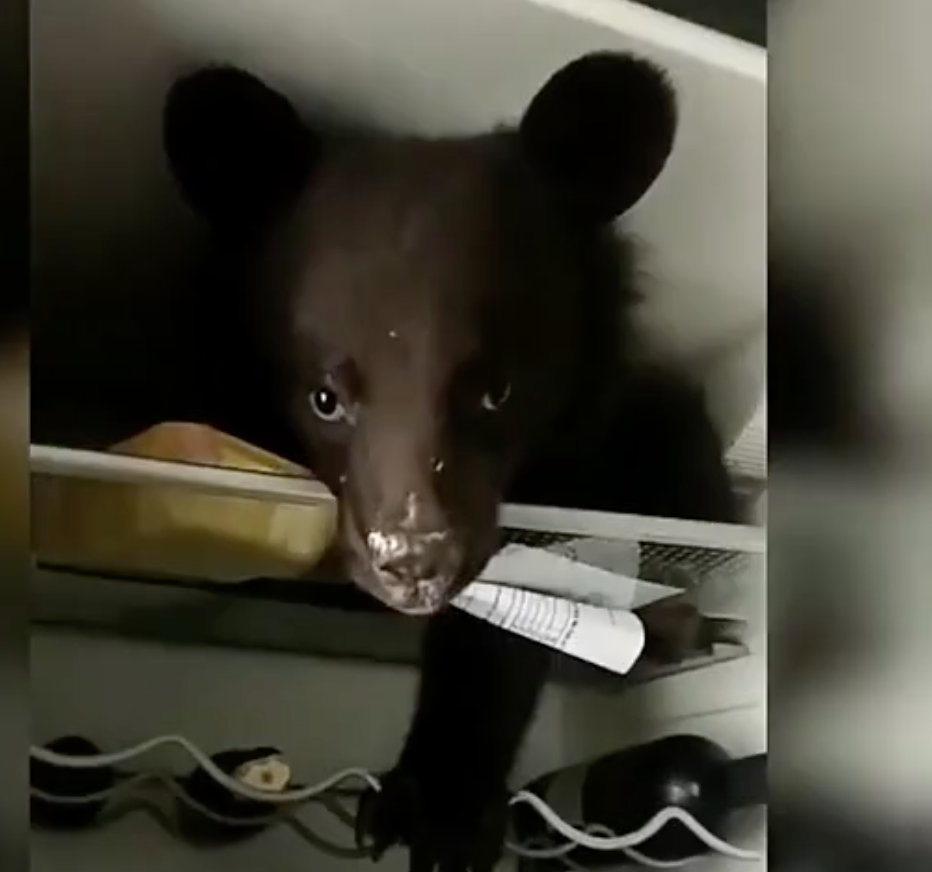 This people having bear as pet but now not happy it made mess