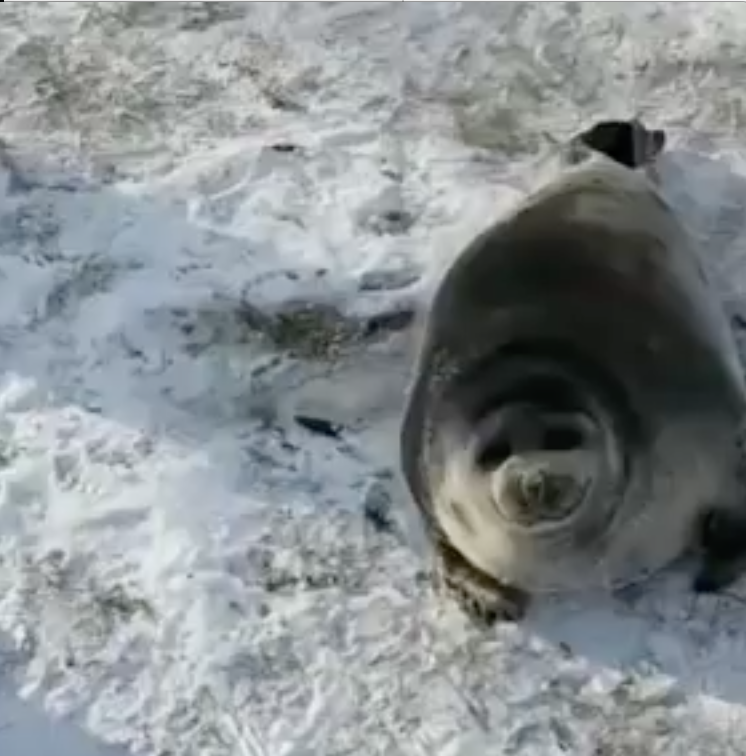 Seal Was Saved by Russian People [video]