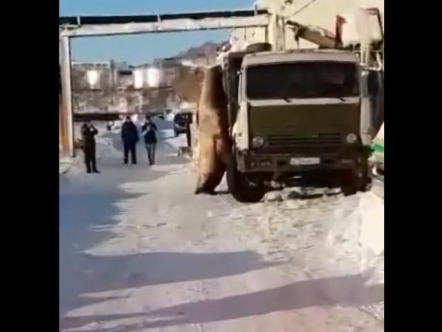 Huge Walruses Don't Afraid of People