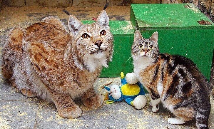 Lynx And Cat: Twelve Years of True Friendship