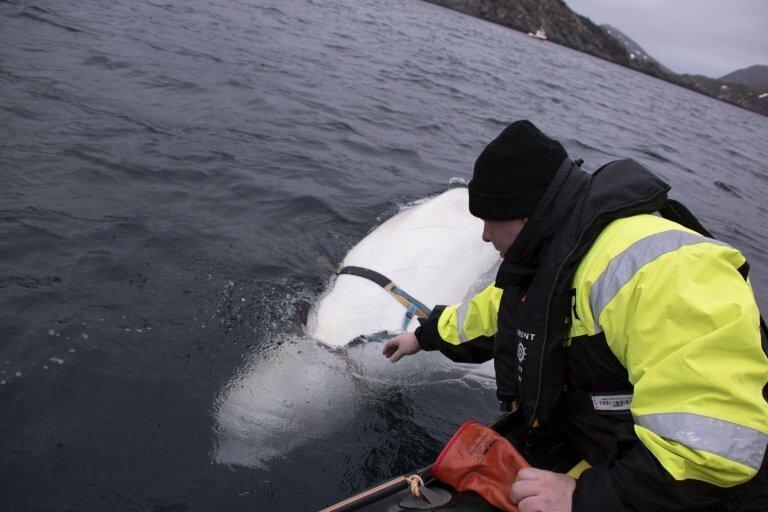 Russian Spy Whale Found By Norwegian Fishermen