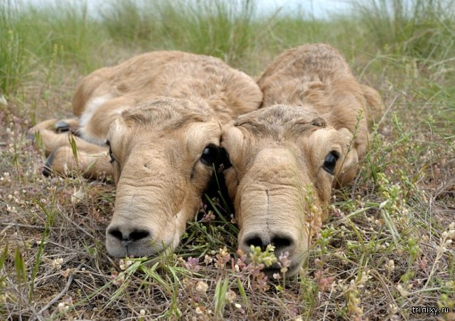 How Saiga Antelope Babies Look Like