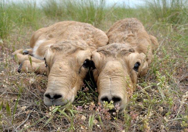 How Saiga Antelope Babies Look Like