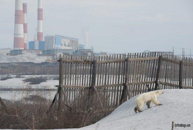 White Bear Pays a Visit to Norilsk