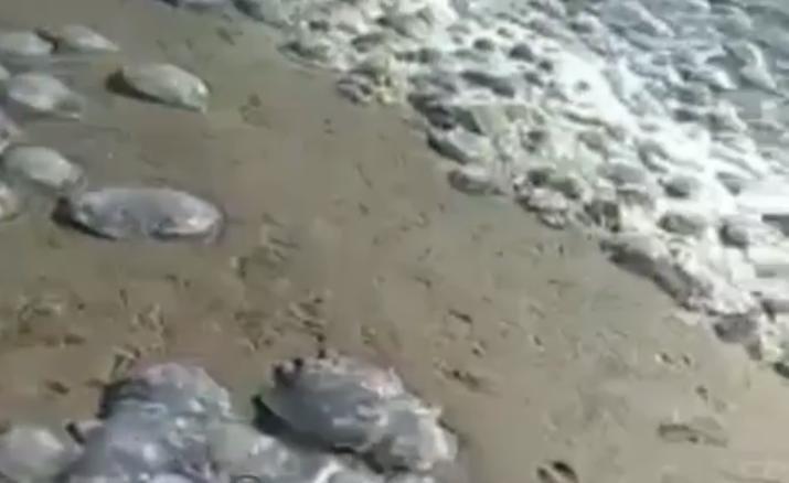 Jelly Fish Invasion In the Azov Sea