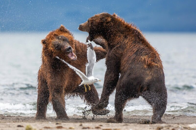 Mother Bear Fighting For Her Cubs
