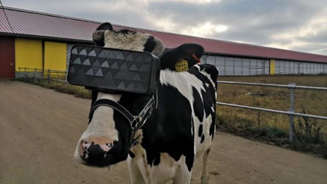 На коров с Подмосковной фермы надели VR-очки (8 фото)