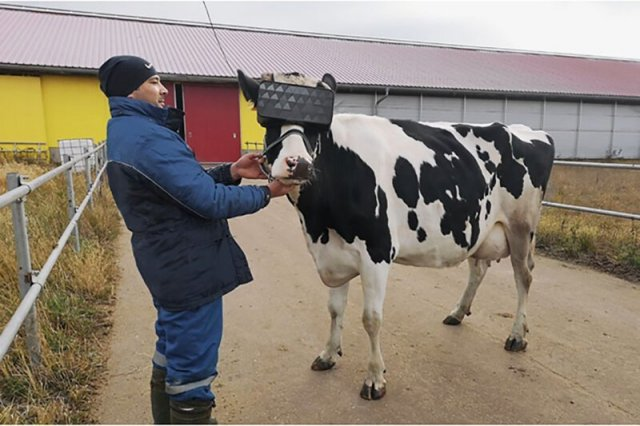 VR Glasses For Russian Cows