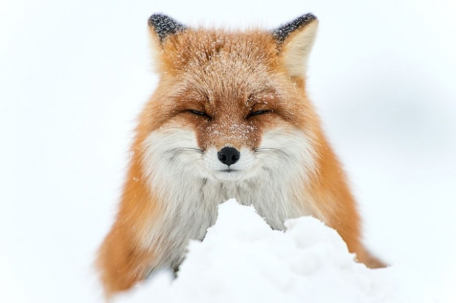 Russian Mining Engineer Photographs Foxes