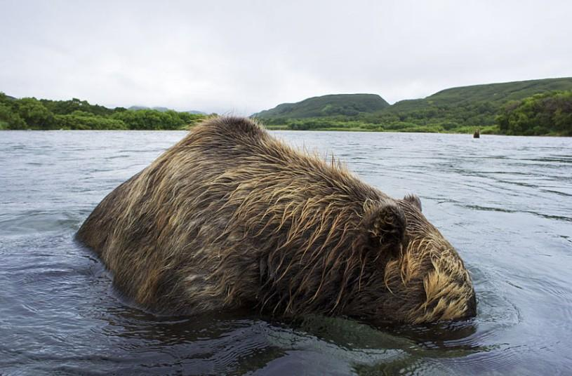 Brown Bears Catch Salmon: Cool Photos From Kamchatka