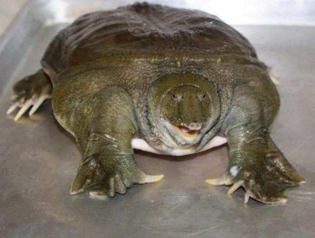 Трионикс Дальневосточный: Самая опасная черепаха России