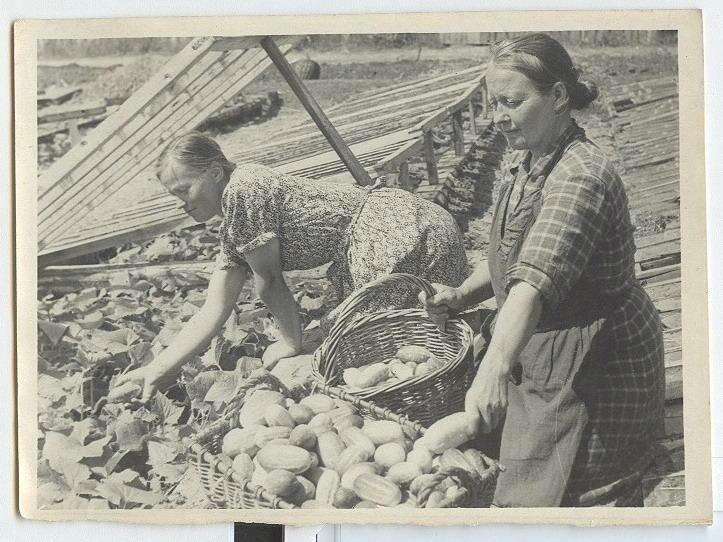 Сбор огурцов Леонид Шокин, 1950-е, МАММ/МДФ.