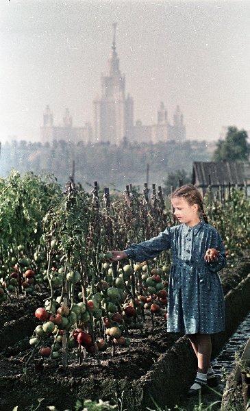 Выращивание помидоров Сергей Васин, 1953 - 1959 год, г. Москва, МАММ/МДФ.