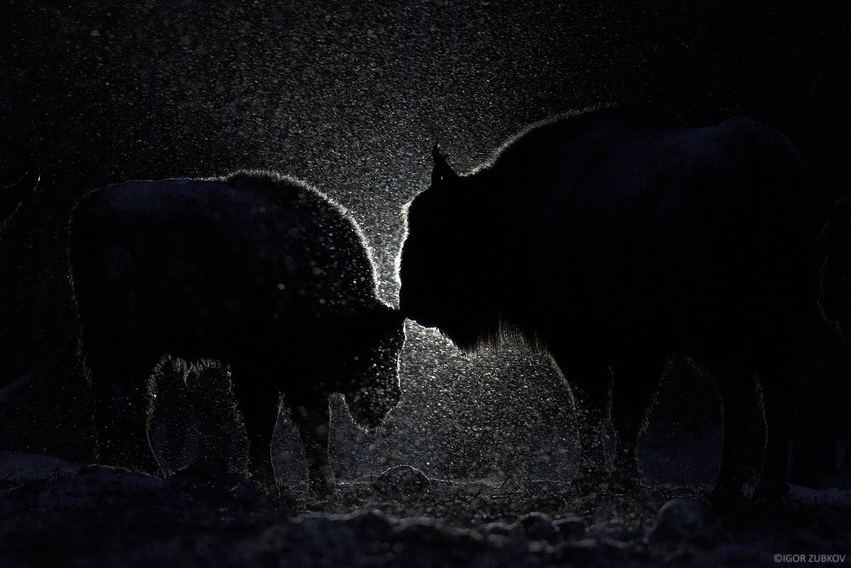Фаворит конкурса. «И днём, и ночью». Зубры калужских Засек. Автор Игорь Зубков