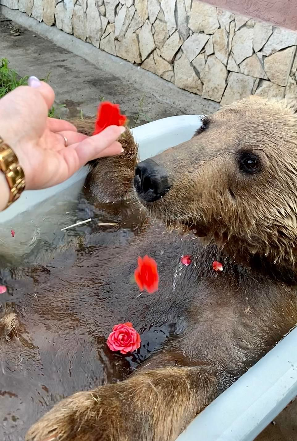 Baloo the Bear That Happily Lives With a Zoo Owner Now
