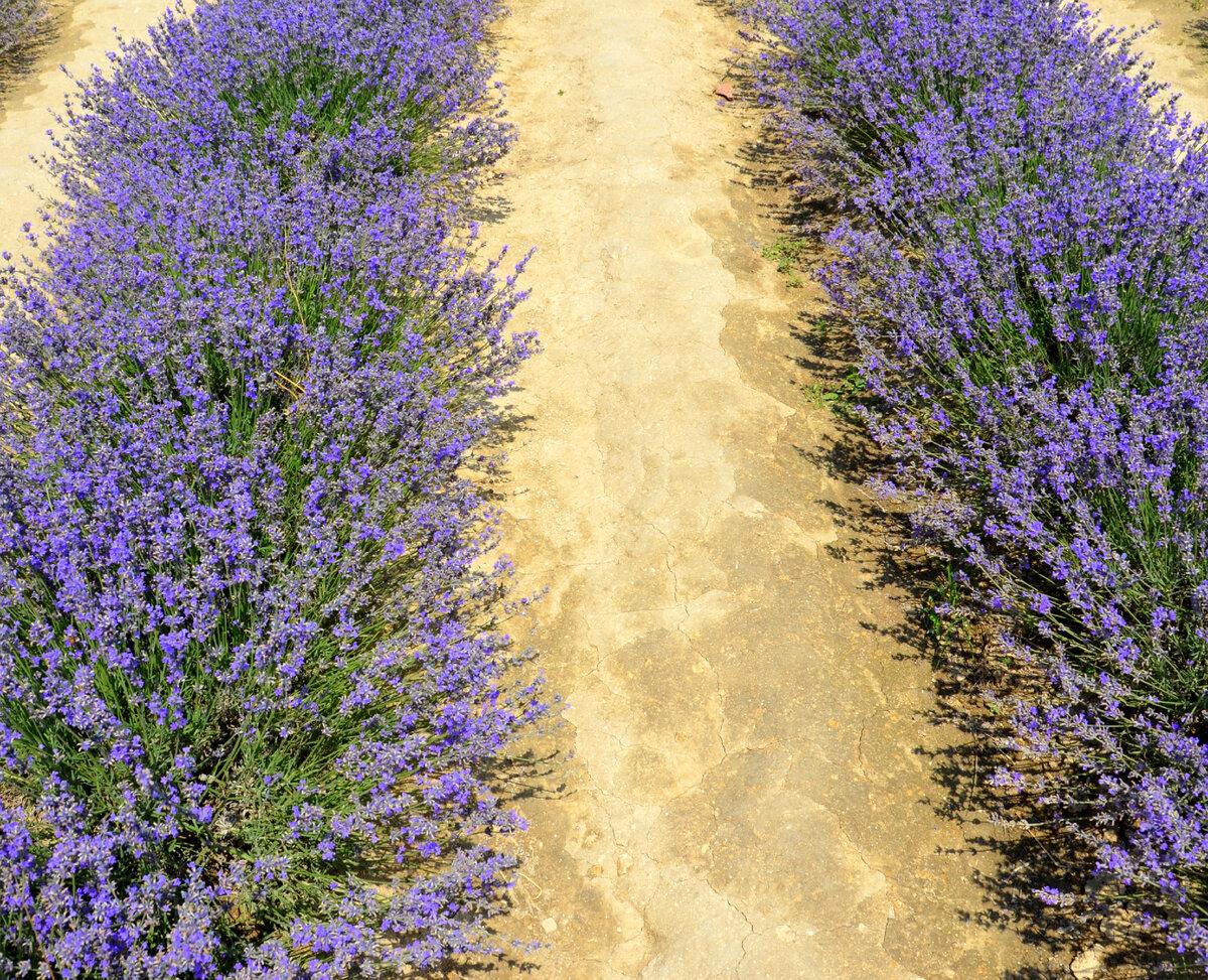 Земля в междурядьях на этом маленьком поле была больше похожа на асфальт. Фото автора.