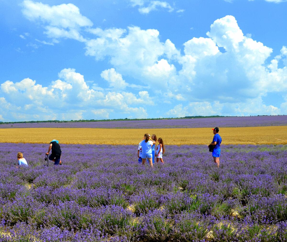 Жёлтая полоска пшеницы между лавандовыми полями. Фото автора.