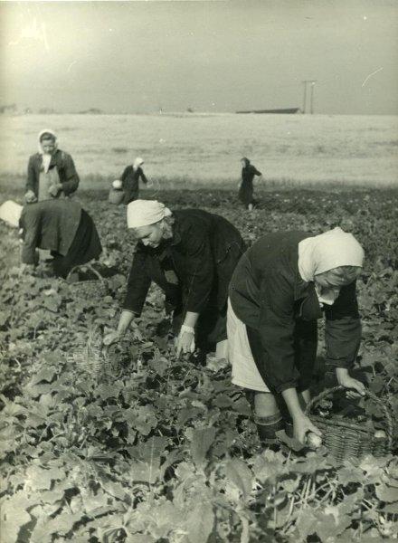 Урожай огурцов. С. Панютин, 1950-е, МАММ/МДФ.