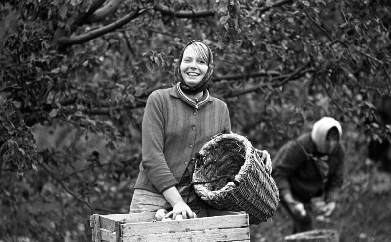 Сбор яблок. Юрий Садовников, 1966 - 1979 год, МАММ/МДФ.